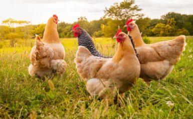 Genetski modificirane kokoške polažu jaja s proteinima za proizvodnju lijeka protiv raka